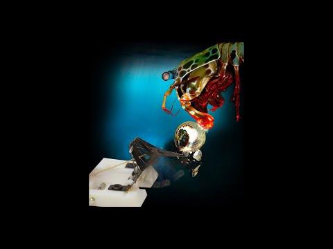 Robot mimics the powerful punch of the mantis shrimp
