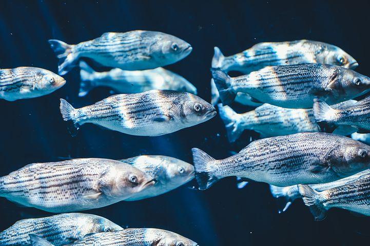 Robotic Fish Created to Control Invasive Species